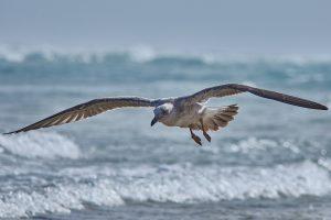 Gaviota planeando por la orilla de la playa