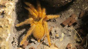 tarantula enverinats