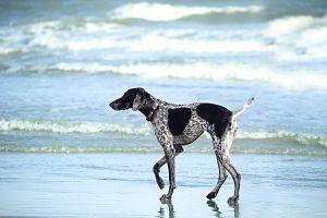 Perro paseando por la orilla de la playa