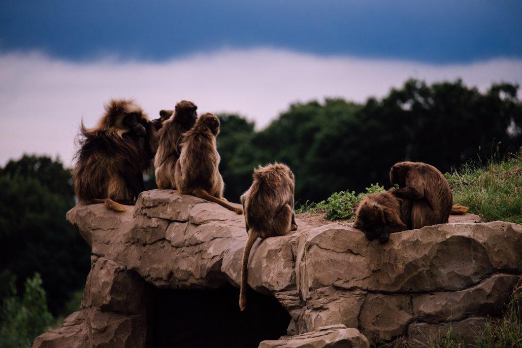 Monos en el zoo de barcelona