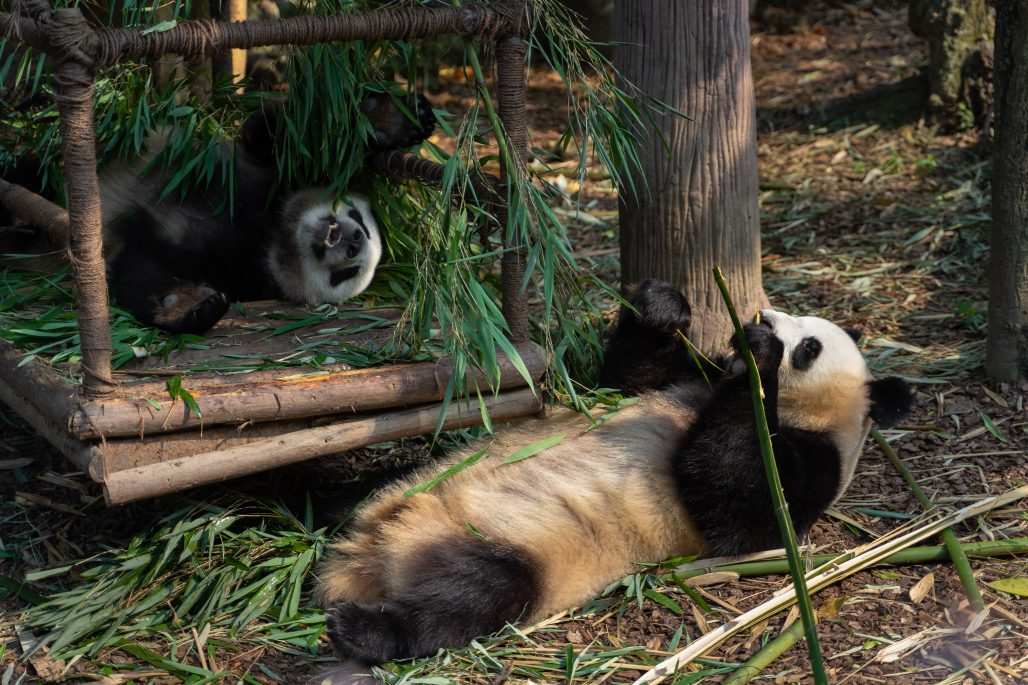 Pandas en el Zoo de Barcelona