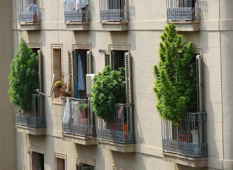 Arbustos de marihuana