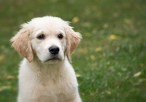 Imagen de un cachorro de labrador amarillo